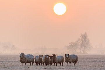 Een kudde schapen tijdens zonsopkomst van Stephan Neven