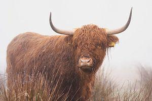 Schotse hooglander in de mist Nederland