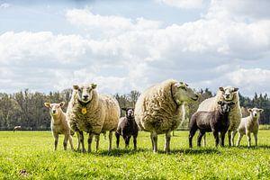 Lente schapen met lammetjes