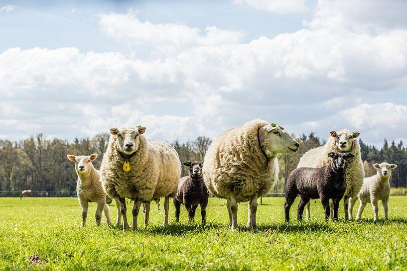 Lente schapen met lammetjes van Erik Mus
