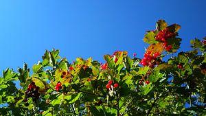 Red Berries | Green Leaves | Blue Sky