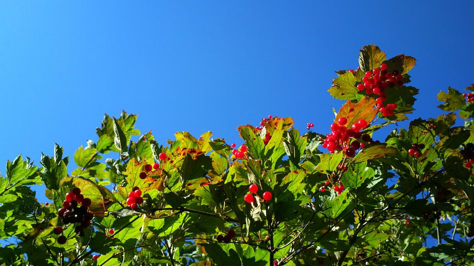 Red Berries | Green Leaves | Blue Sky van rosstek ®