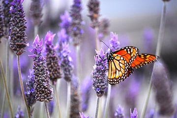 Der Schmetterling und der Lavendel - Frühling von Carolina Reina