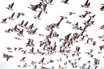 Grote groep ganzen in vlucht van BYLDWURK BYLDWURK