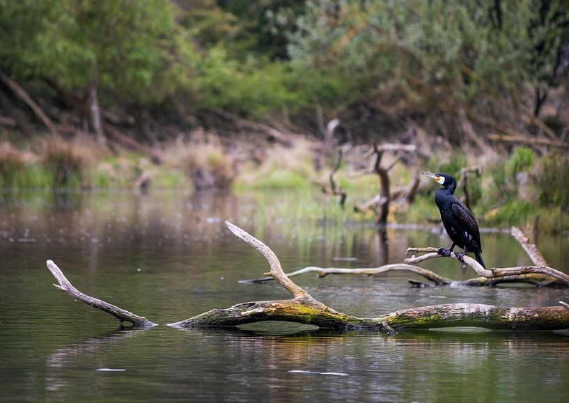 Kormoran sitzt auf einem Ast im Wasser. von Sharon de Groot