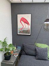 Klantfoto: American Flamingo, origineel van Meesterlijcke Meesters