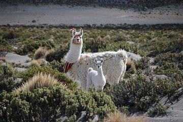 Aangeklede lama's op de Altiplano in Bolivia van A. Hendriks