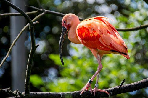Prachtige Rode Ibis met roze veren