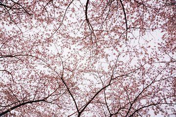 Kirschblütenbäume im Frühling, Japanische Sakura in Almere, Niederlande | Fine Art Botanical Prints von Evelien Lodewijks