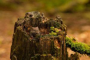 woelmuisje zit in een boomstronk te genieten van de zon van
