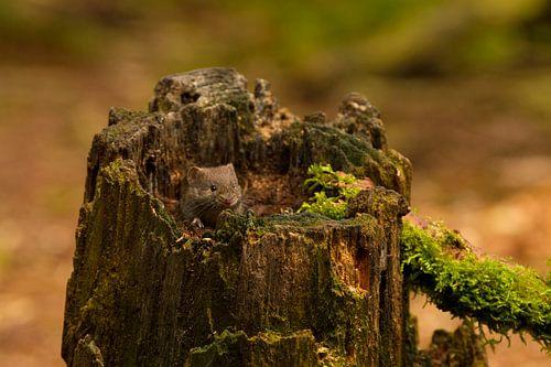 woelmuisje zit in een boomstronk te genieten van de zon