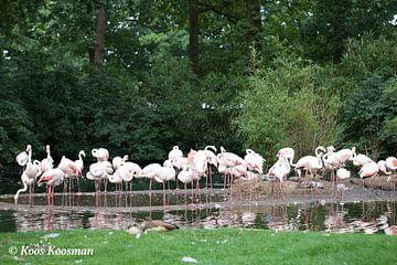 Flamingo's von Koos Koosman