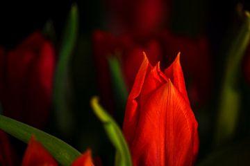 Rubeum tulips amoris van Michael Nägele