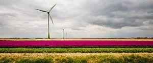 Tulpen in Flevoland van