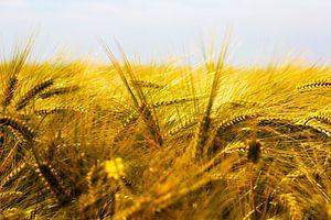 Goud graanlandschap