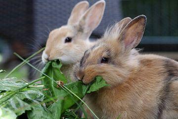 Twee hongerige konijnen met verse bladeren van cuhle-fotos