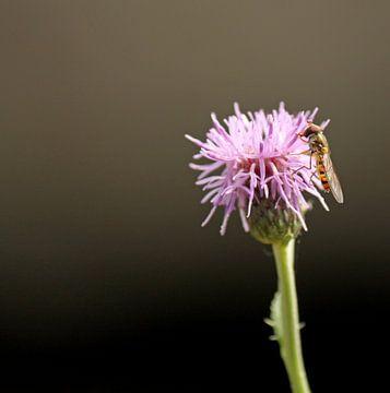Sluipwesp op roze bloem van Marco Weening