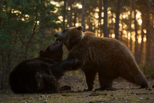 Eurasian Brown Bears * Ursus arctos * fighting in backlit van wunderbare Erde