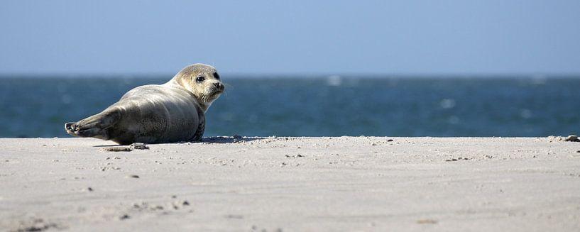 Seehund am Strand von Düne sur Antwan Janssen