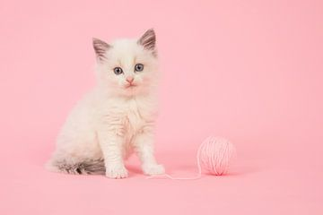 Ragdoll kitten in roze von Elles Rijsdijk