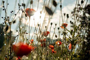 Erwachender Mohn mit Tautropfen im Sonnenlicht von Douwe Beckmann