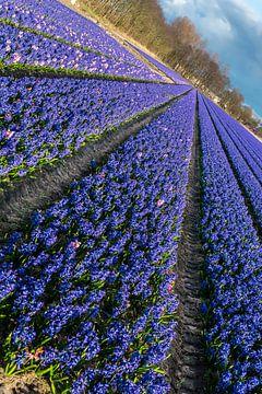 Bollenveld, blauwe hyacinten van Peet Romijn