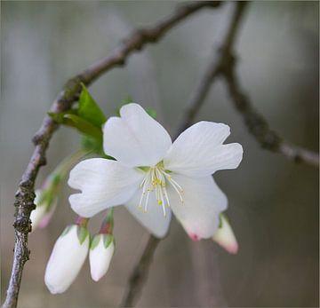 weiße Frühlingsblüte von Ingrid Van Damme fotografie