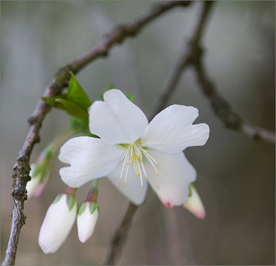 witte lentebloesem van Vandain Fotografie