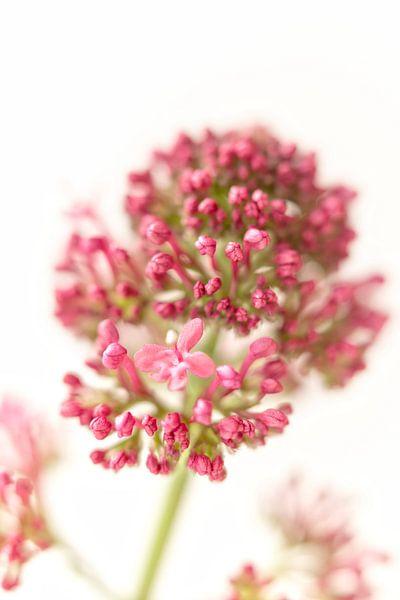 Mooie, roze bloem van Miranda van Hulst