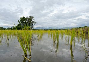 Rijstvelden in Thailand van