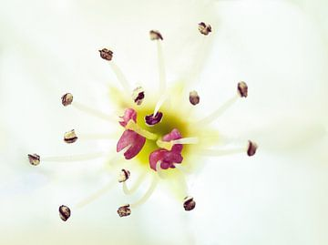 Details zur Blüte von Maikel Brands
