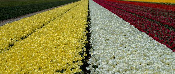 Bloemenveld in Bollenstreek
