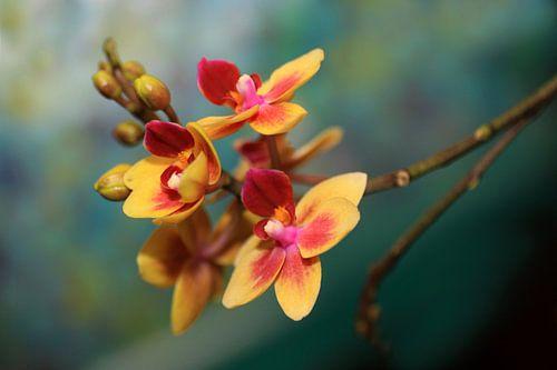 Vlinder Orchidee van Jolanta Mayerberg