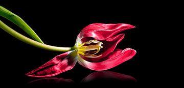 Liegende rote Tulpe mit Staubgefäßen und Stempel, isoliert mit kleiner Reflexion auf schwarzem Hinte