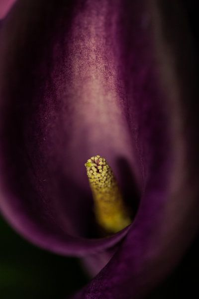 paarse bloem  van Jovas Fotografie