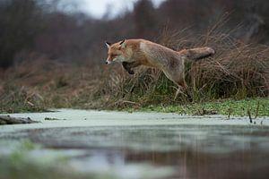Red Fox ( Vulpes vulpes ), adult in winterfur, jumping over a little creek in a swamp, far and high