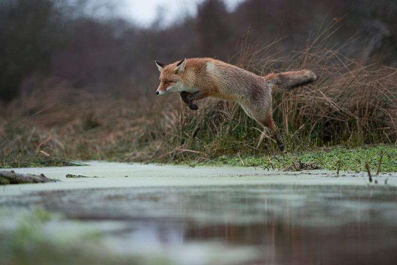 Red Fox ( Vulpes vulpes ), adult in winterfur, jumping over a little creek in a swamp, far and high  van wunderbare Erde