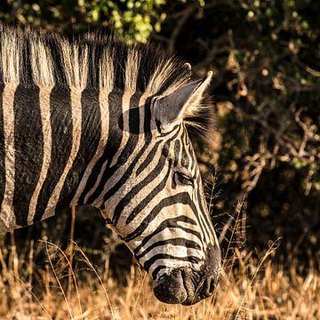 Steppezebra -Equus quagga /  Equus burchelli van Rob Smit