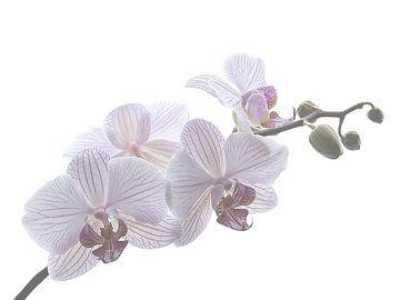 Orchid von Marjon van Vuuren