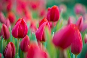 Tulpen uit Amsterdam van Jeroen de Jongh