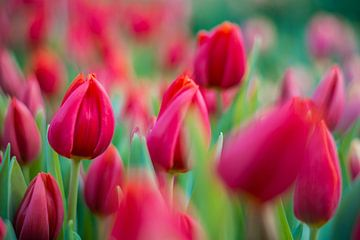 Tulipes d'Amsterdam sur Jeroen de Jongh