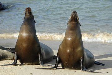 zonnende zeeleeuwen van Jacintha Van beveren