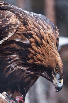 Vreselijke adelaar met een grote snavel van dichtbij. Grote boze vogel. van Michael Semenov