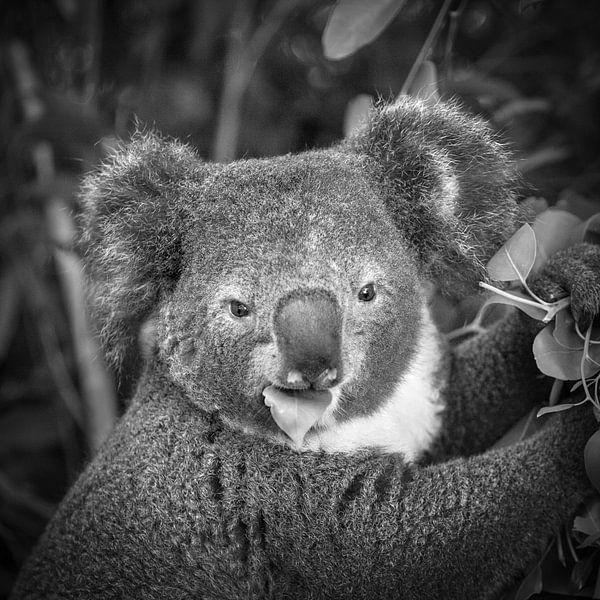 Le koala mange des feuilles sur Frans Lemmens