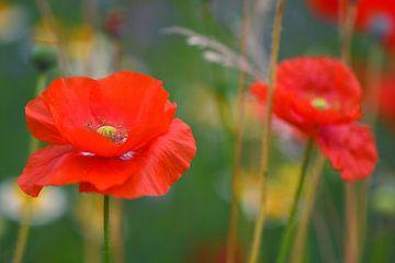Klaproos in een wild bloemenveld van