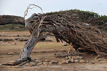 Langste boom op Bonaire strekt zijn takken uit. van Silvia Weenink