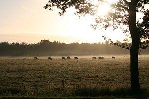 Zonnestralen schijnen op grazende koeien