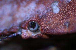 Irische Krabbe von Bärbel Severens