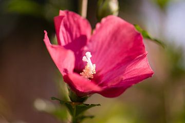 roze hibiscus van Tania Perneel