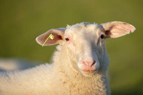 moutons en zélande